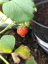 Our 1st Strawberries!!!