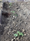 Tomato Plants Outdoors