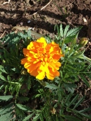 Marigolds in bloom