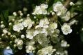 Elderflower Blossom