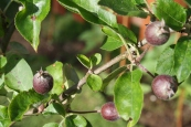 Apples are coming