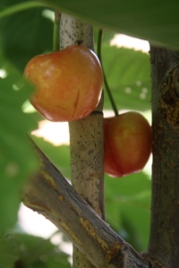 Our 1st Cherries