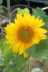 Beautiful Sunflowers in bloom