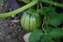 1st signs of our pumpkins