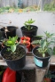 Chilli Plants loving the sunny weather