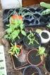 Pepper Plants